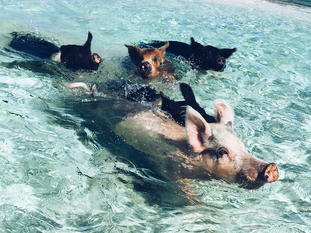 Swimming Pigs - Exuma Water Sports - exumawatersports.com